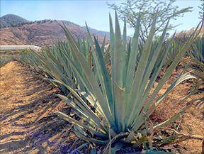 A Field of Arroqueno Agave Purchased with Funds Raised at an LTH Forum Tasting